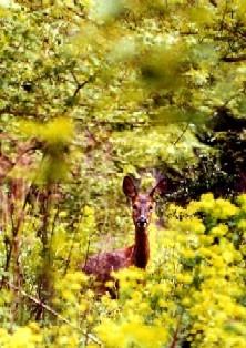 Deer Roe Doe by Deerman