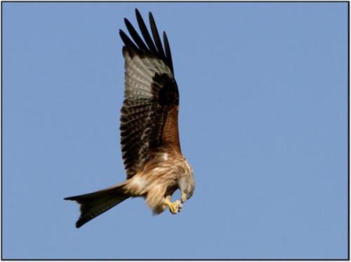 Red Kite flight feeding by PhilG_DPAGB