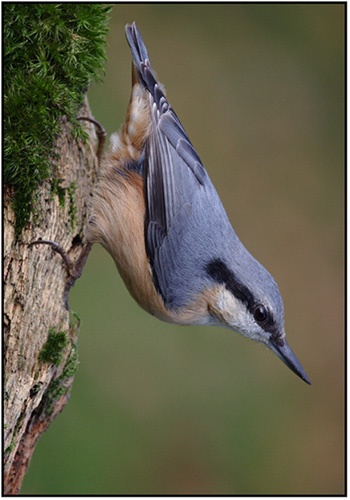 NUTHATCH by PhilG_DPAGB