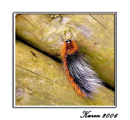 "\""Wooly Bear\"" caterpillar by mandarinkay"
