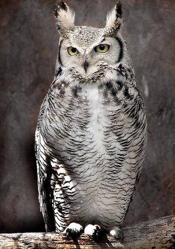 Owl by Pressman
