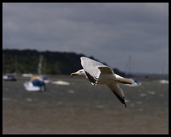 Gull in Flight by simon9924