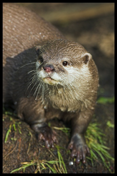 Asian Short Clawed Otter by zippie