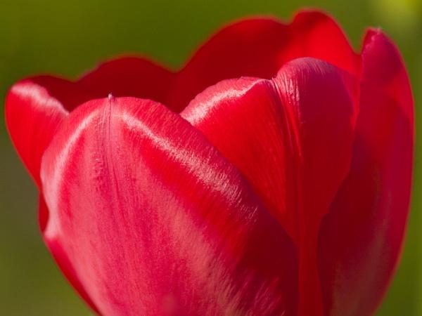 Tulip by nathanrobinson