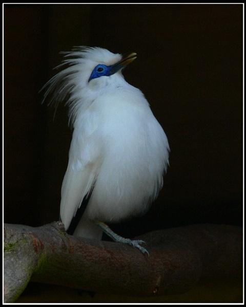 Rothschild\'s Myna bird by MikeRC