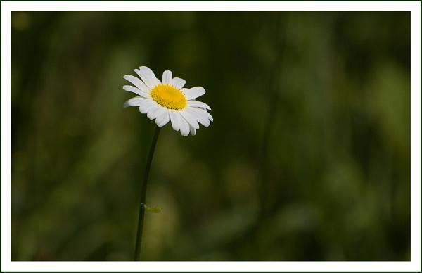 Daisy by beaniebabe