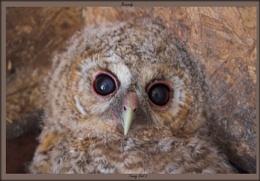 Tawny Owl chick update