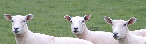 We Three Sheep by oldbiddy