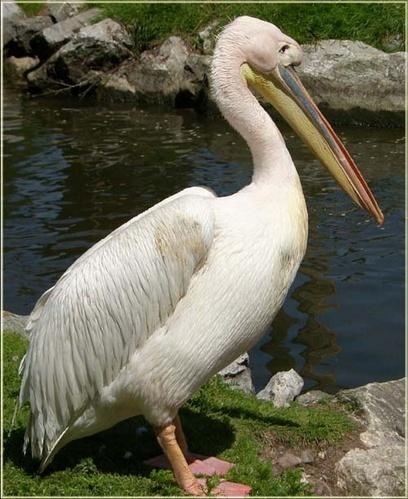 Pelican by vonny