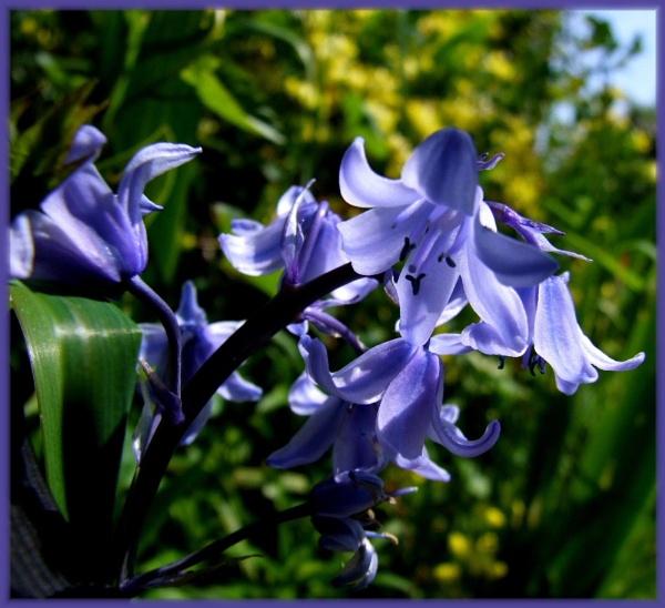 Bluebells by irenefosher