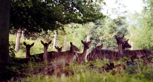 Deer, Fallow Herd by Deerman