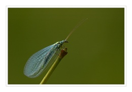 Lacewing - Chrysopa perla