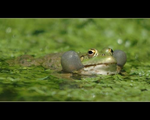 MarshFrog Singing by sferguk