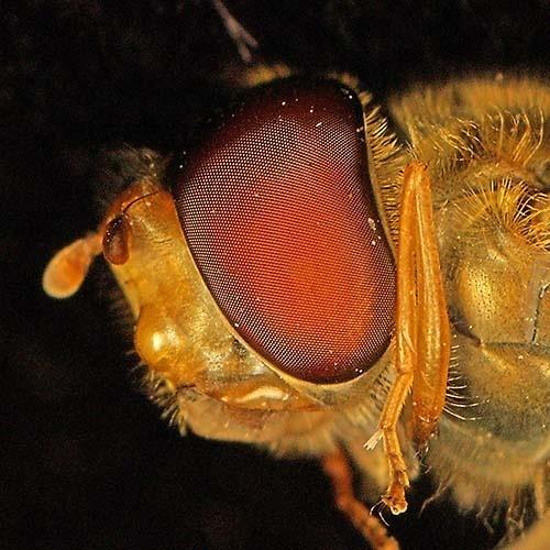 Hoverfly eye by rdown