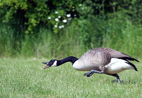 Goose by v_equals