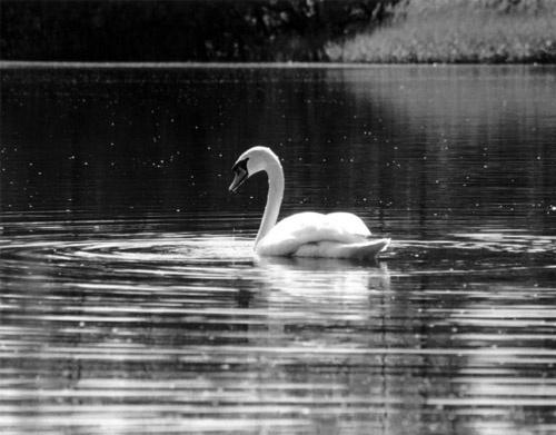 Swan Lake by fredforsyth