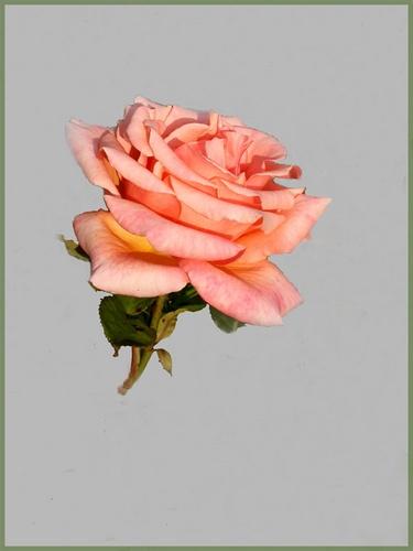 Garden Rose by NorahF