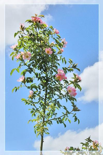 Wild Rose by Billies