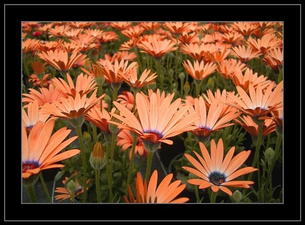 Sea Of Orange by fredthegnome