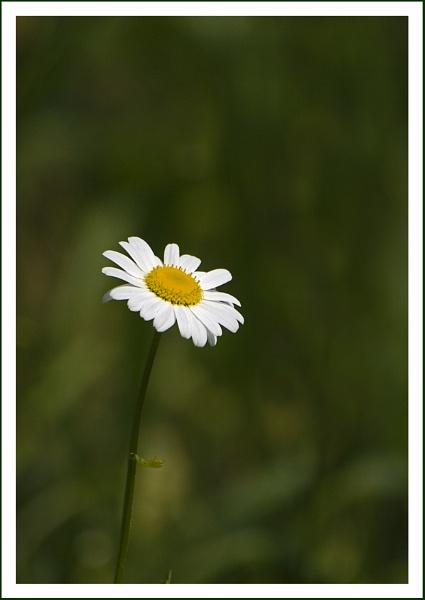 Daisy 2 by beaniebabe