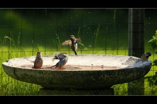 Sparrow bath by plstsn