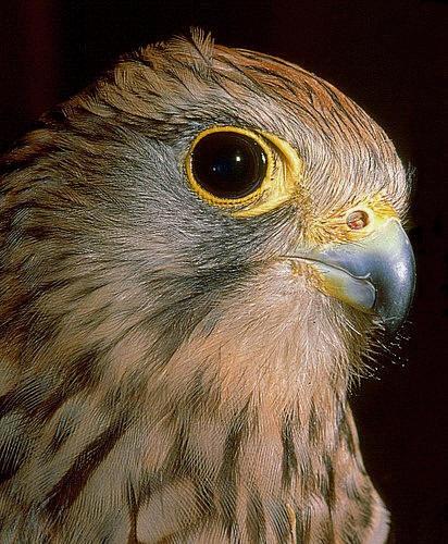 Bird of prey detail by IMAGESTAR