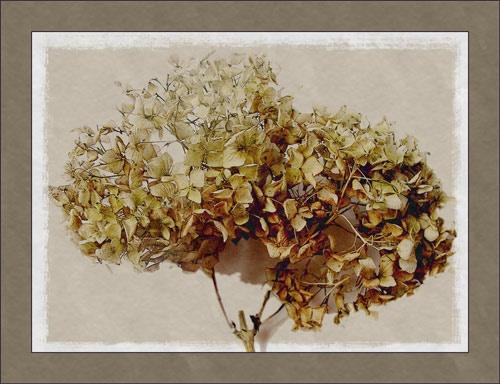 hydrangea by Sheenanigans