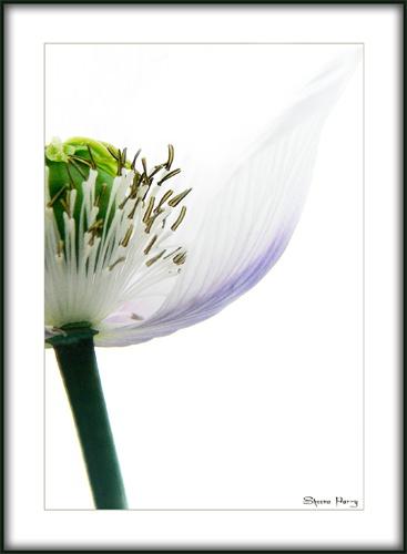 pale poppy # 2 by Sheenanigans