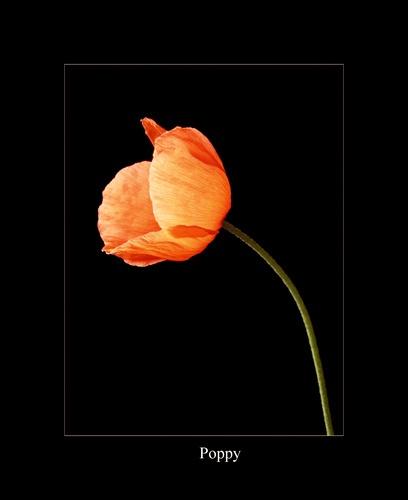poppy by jimbob1
