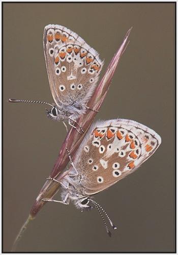 Brown Argus pair by PhilG_DPAGB