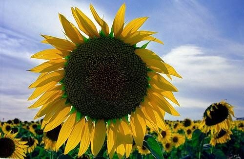 Yellow Sun 1 by RSaraiva