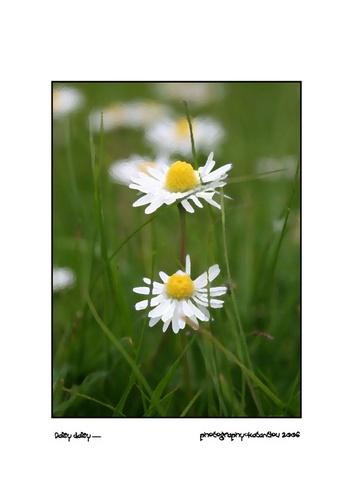 Daisy Daisy by bigtony