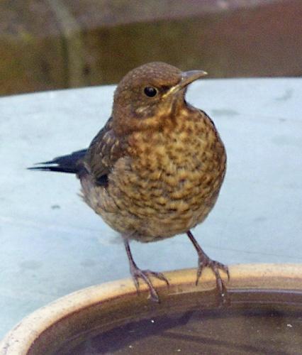 Young Blackbird by john ballance