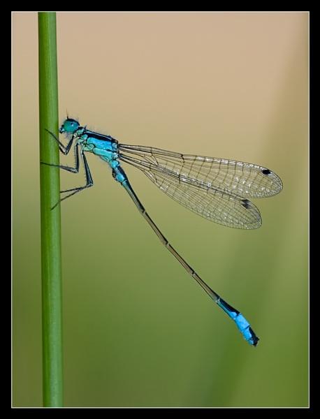 Blue tailed damselfly (m) by gtroop