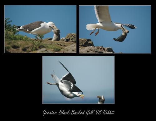 Gull VS Rabbit by sferguk