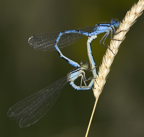 A pair of Damselflies by danpen