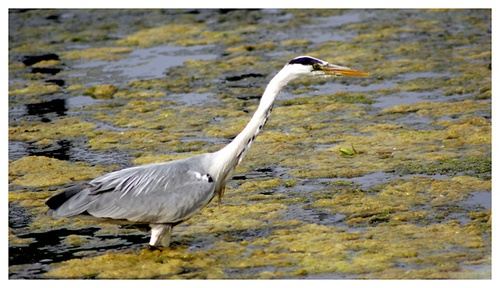 Another Heron by Naturesview
