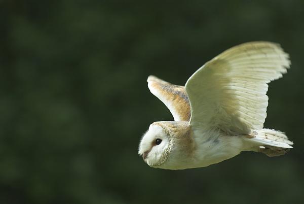 Barn Owl by duncs