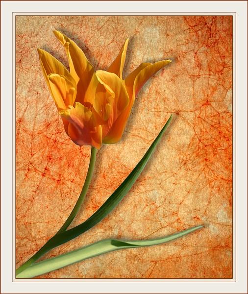 Tulip Test 2 by conrad