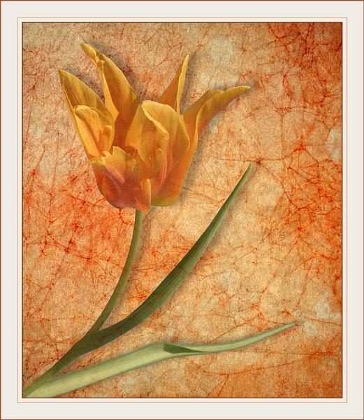 Tulip Test 3 by conrad
