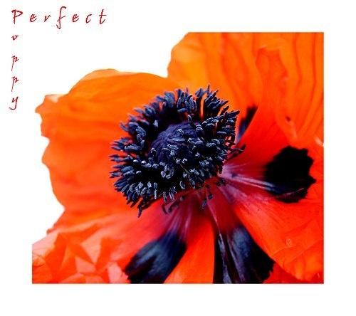 Perfect Poppy by dalischone