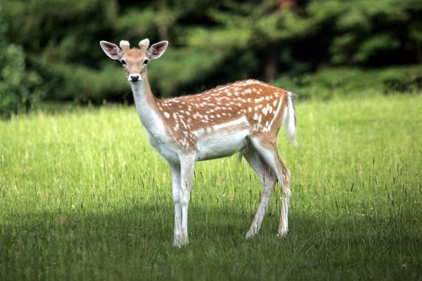 Bambi by pgarwood