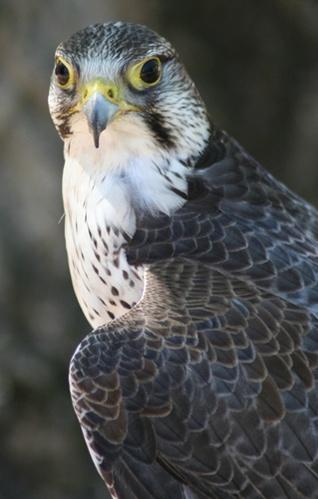 bird of prey by Matthew_Leyshon