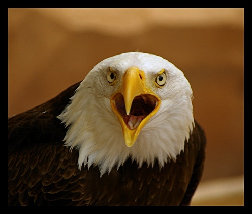 Bald Eagle 2 by DeanH