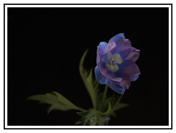 Delphinium by beaniebabe