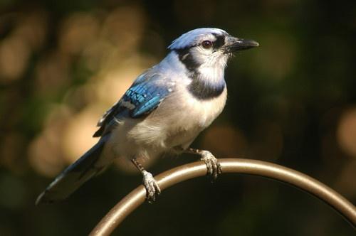 blue jay by jdh2