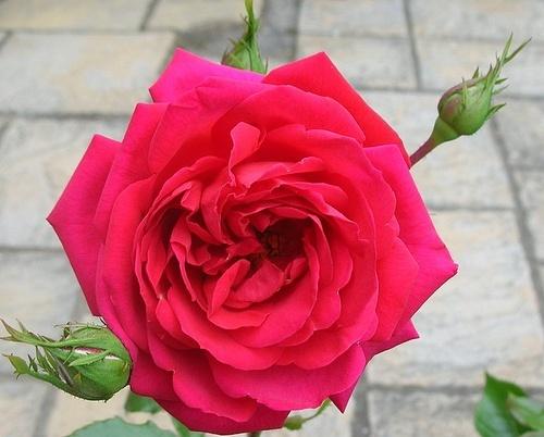 Dad\'s Rose by alaska55