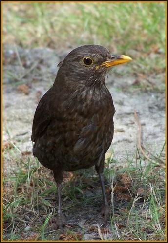 Female blackbird by LucretiaBorgia