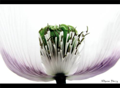 pale poppy # 4 by Sheenanigans