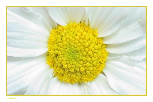 Yellowhite by Nash